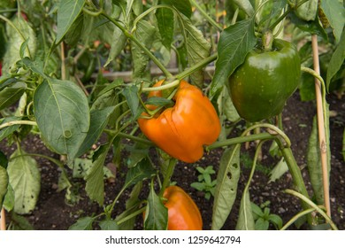 Home Grown Organic Bell or Sweet Pepper 'Gourmet' (Capsicum annuum) Ripening on a Plant on an Allotment in a Vegetable Garden in Rural Devon, England, UK