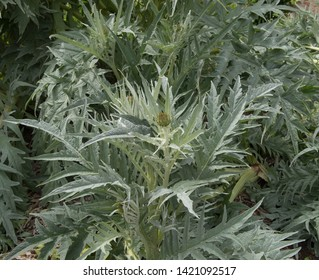 Home Grown Organic Cardoon (Cynara cardunculus) on an Allotment in a Vegetable Garden in Rural Somerset, England, UK