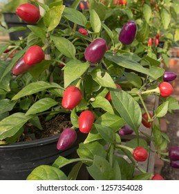 Home Grown Organic Chili or Chilli Peppers 'Loco' (Capsicum annuum) Growing in a Greenhouse on an Allotment in a Vegetable garden in Rural Devon, England, UK
