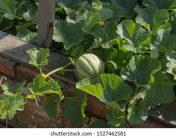 Home Grown Organic Melon (Cucumis Melo 'Emir') Growing in a Cold Frame on an Allotment in a Vegetable Garden in Rural Devon, England, UK