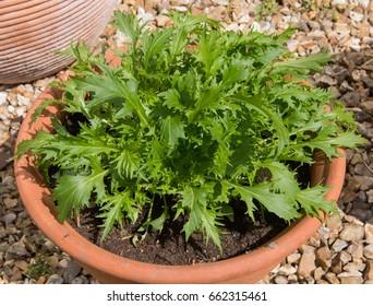 Home Grown Organic Mizuna on an Allotment in a Vegetable Garden in Rural Devon, England, UK