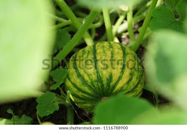 Home Grown Organic Pumpkin on vegetable garden. The green juicy ripening pumpkin on the kitchen garden.