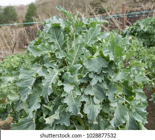 Home Grown Organic Purple Sprouting Broccoli (Brassica oleracea) on an Allotment in a Vegetable Garden in Rural Devon, England, UK