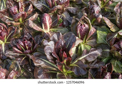 Home Grown Organic Radicchio or Italian Chicory 'Rossa di Treviso' (Cichorium intybus) Growing on allotment in a Vegetable garden in Rural Devon, England, UK