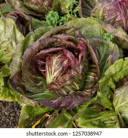 Home Grown Organic Radicchio or Red Chicory 'Firestorm' (Cichorium intybus) Growing on an Allotment in a Vegetable Garden in Rural DEvon, England, UK
