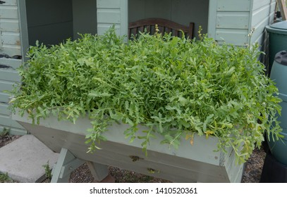 Home Grown Organic Rocket or Arugula Salad Leaf Plant (Eruca sativa) Growing in a Hand Painted Vegetable Trug on an Allotment in a Vegetable Garden in Rural Essex, England, UK