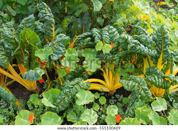 Home Grown Organic Yellow Chard (Beta vulgaris) Surrounded by Nasturtium Leaves on an Allotment in a Vegetable garden in Rural Devon, England, UK