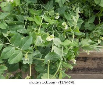 Home Grown Peas 'Hurst Green Shaft' (Pisum sativum) on an Allotment in an Organic Garden in Rural Devon, England, UK