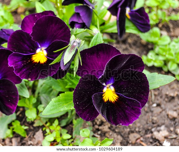 Home Grown Purple Colored Viola Tricolor Stock Photo Edit Now