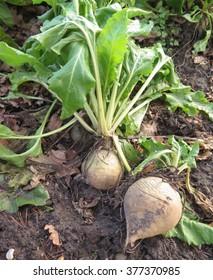 Home Grown White Beetroot, variety 'Detroit', (Beta vulgaris) in a Vegetable Garden in Surrey, England, UK
