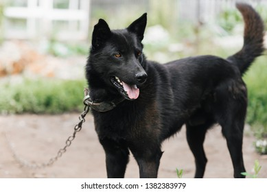 Home guard black dog on a chain. Watchdog shepherd or laika protects the house