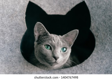 Home lifestyle portrait of purebreed russian blue cat. Adorable funny little kitten with surprised muzzle looking out from its cat house. Blue eyed lovely pussycat relaxing at kennel.
