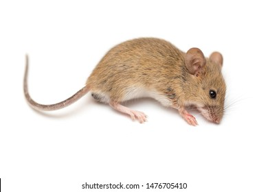 home mouse on a white background