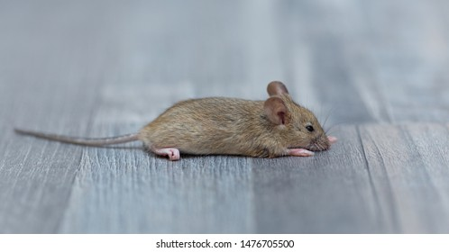 home mouse sitting on the floor with curious eyes looking at the camera