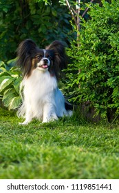 Home pet, dog of the breed papillon in the garden