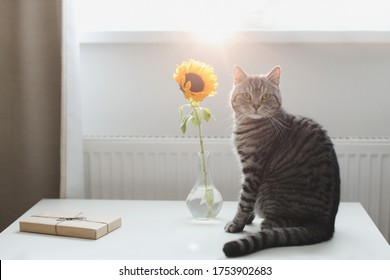 Haustier Kätzchen lustig schauend Nahaufnahme. Schottische Katze drinnen. Katzen-Portrait. Cute Katze im Haus schießen.