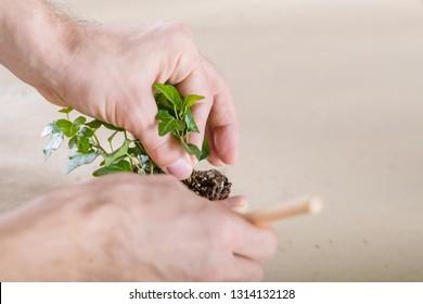 Home plant care. Hobby concept. Hands replanting close up.