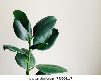 Home plant ficus on a light background with empty copy space for text