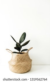 Home plant ficus in straw basket flowerpot on white background. Minimal floral concept.