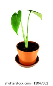 home plant in pot isolated