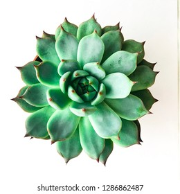 Home plants. Succulent