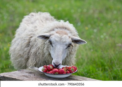 Home sheep eats ripe strawberries, a delicacy for sheep. A curious incident on the farm.