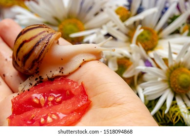 Home snail Archachatina marginata var. ovum crawling on the hand of the hostess. Red tomato is a favorite food for snail. The shell of the mollusk is yellow with brown stripes.