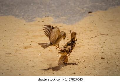 home sparrow fighting for food,abudhabi uae