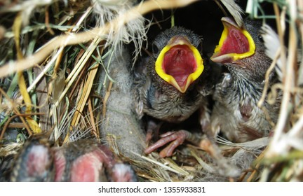 Home sparrow is most common bird in Indian subcontinent  at the same time there is lack of work on this specie . this is the picture of  sparrow chick waiting for food in nest