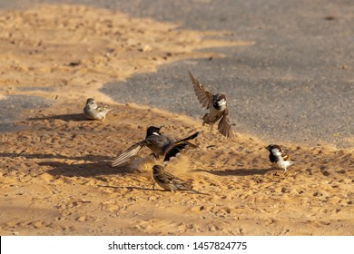home sparrow n bulbul fight,abudhabi, uae