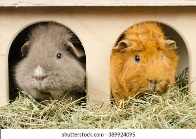 home sweet home...(curly and short haired peruvian guinea pig)