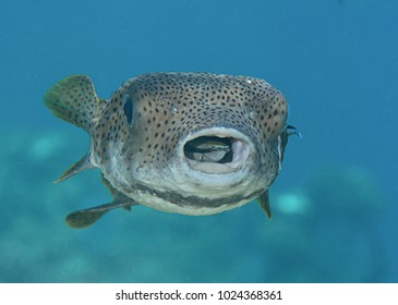 Home sweet home-Porcupine pufferfish    ( diodon hystrix ) being cleaned by cleaner fish (labroides dimidiatus) at cleaning station , Bali, Indonesia