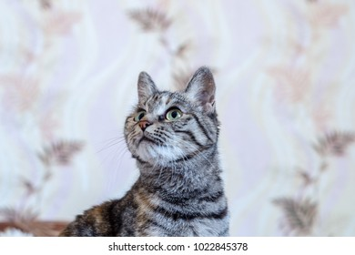 home tabby gray cat looking up