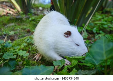 home white muskrat in the grass