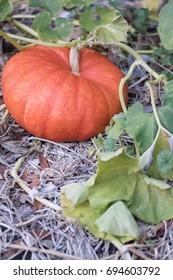 Home-grown autumn pumpkin in a family garden on the vine