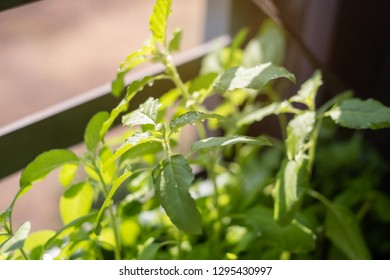 Homegrown basil trees in condominium. This picture is suitable for such concept as houseplant, condo gardening, kitchen garden, balcony gardening, homegrown vegetable, minimalism, organic veggie.