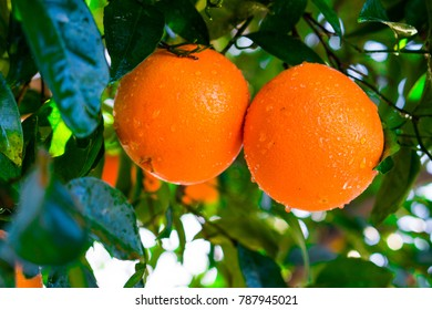 Homegrown California navel oranges on the tree in January 2018