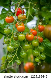 Homegrown cherry tomatoes on vine in garden
