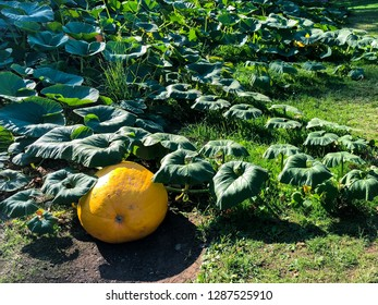 Homegrown giant pumpkin squash growing on trailing vine in garden allotment. Big orange vegetable, autumn fall season. Farm fresh food. Prize showy curcubita ripening. Grow your own organic produce.