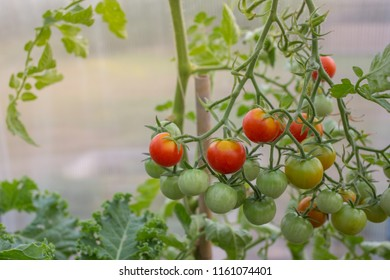 Homegrown organic cherry tomatoes in a greenhouse.