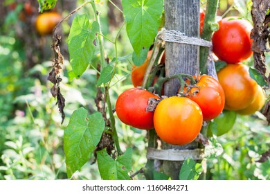Homegrown Organic Tomatoes Growing In Garden, Cultivated Non GMO Vegetable, Healthy Food