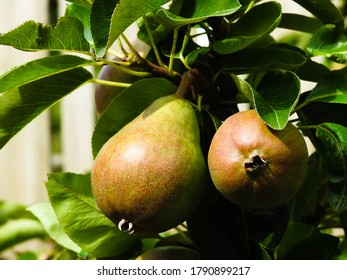 Homegrown pear tree in Ireland