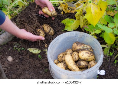 Homegrown Potatoes being harvested