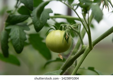 Homegrown produce. Locally grown green tomato in organic garden. Close up