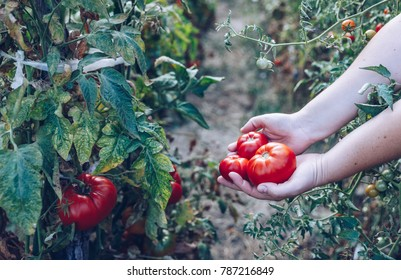 Homegrown Red Fresh Tomato In A Garden. Red organic tomato plant and fruit in the summer light. Bio garden with tomatoes. Homemade tomatoes grown in the garden.