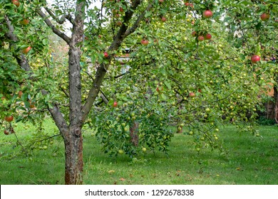 homegrown red and green apple trees in the garden