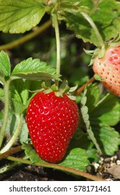 Home-grown strawberries ready to be picked from the garden