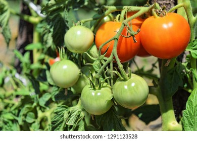 Homegrown tomatoes in a garden