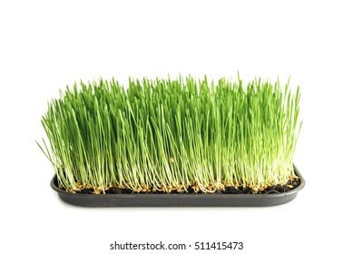 Homegrown wheat grass on white background