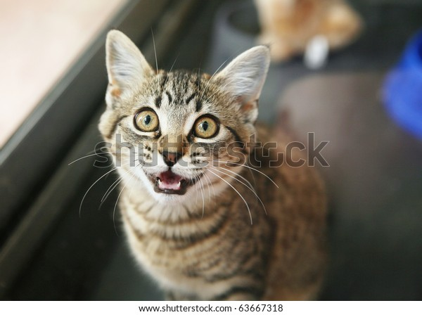 Homeless animals series. Tabby kitten looking up meowing